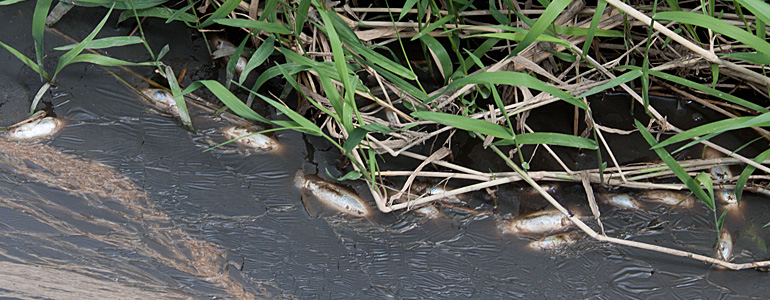 Dead fish as a result of a spill of CAFO waste