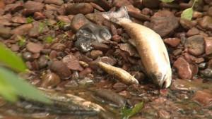 trout kill